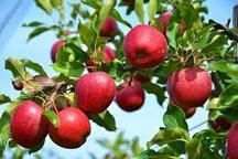 تولید یک سوم سیب کشور در آذربایجان غربی