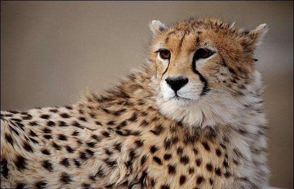 مشاهده یوزپلنگ ایرانی در خراسان شمالی