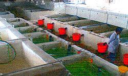 احداث 9 واحد بزرگ پرورش ماهی در قزوین