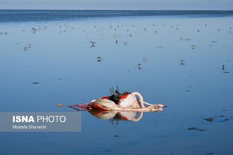 تکرار فاجعه مرگ مشکوک پرندگان در میانکاله