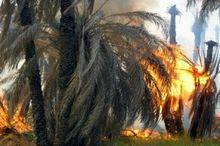 نخلیات دشتستان آتش گرفت