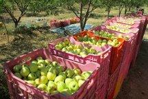 برداشت سیب از باغ های خراسان شمالی آغاز شد