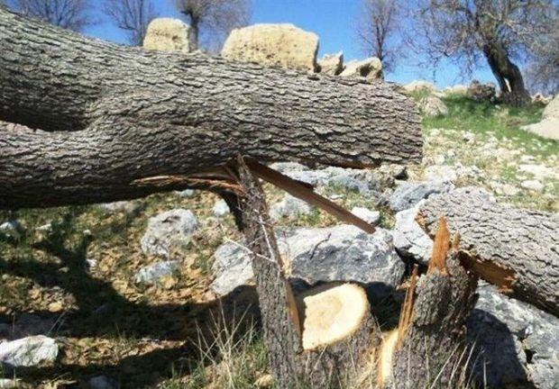 رسانه ها در مورد قطع درختان در جاده یاسوج به سی سخت اغراق کردند