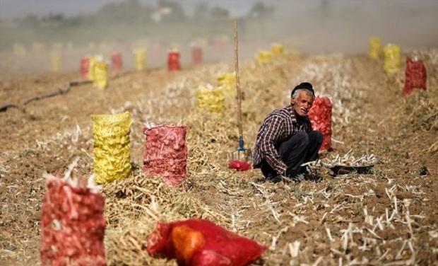 60 درصد سیر کشور در همدان تولید می شود