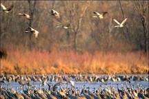 علائم آنفلوانزا در پرندگان تالاب «قره قشلاق» مشاهده نشده است