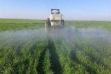 ریزش سن گندم در 26 هزار هکتار از مزارع  نقده ردیابی شد