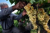 سومین جشنواره انگور در روستای حسن رباط اصفهان برگزار میشود
