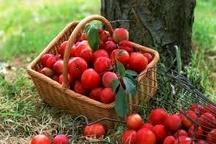 180 هزار تن سیب محصور در سردخانه های آذربایجان غربی کشاورزان متضرر اصلی تصمیمات مسئولان
