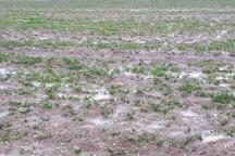 770 میلیارد ریال خسارت به کشاورزی کرمانشاه وارد شد