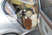 ۱۳ راس گوسفند درون یک سمند جا خوش کرده بودند