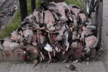 حمایت افراد با نفوذ محلی ، علت تشدید کشتار پرندگان مهاجر در فریدونکنار
