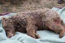 2 شکارچی خرس در بوانات فارس دستگیر شدند