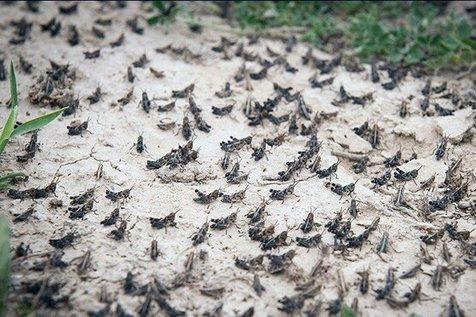 هشدار در خصوص احتمال ورود توده های ملخ صحرایی به کشور