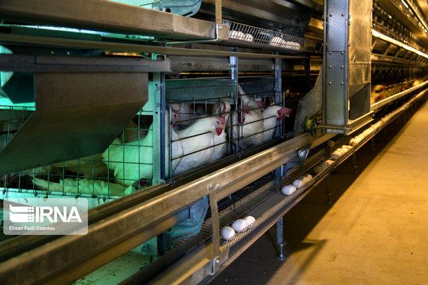 همدان از قطبهای تولید تخممرغ نطفهدار در کشور است