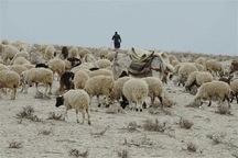 قاچاقچیان احشام در آذربایجان غربی 17.5میلیارد ریال جریمه شدند