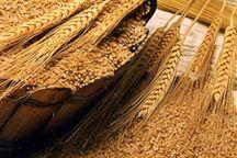 افزایش ۴۷ درصدی خرید تضمینی گندم در خراسان رضوی