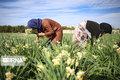 ۴۲۰ نفر دهه فجر در بخش کشاورزی مازندران شاغل میشوند