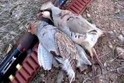 شکارچیان سه قطعه کبک در طارم دستگیر شدند