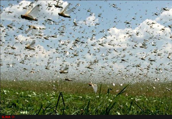 نیاز به ۴۰ تن سم جهت مقابله با ملخهای صحرایی در سیستان و بلوچستان