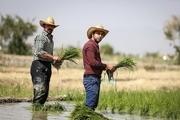 کشت برنج در سال جاری آبی افزایش یافته است