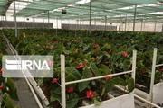 تولید گل شاخه بریده در خمین ۲۰ درصد افزایش یافت