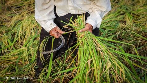 واردات برنج ۴۸ درصد کاهش یافت