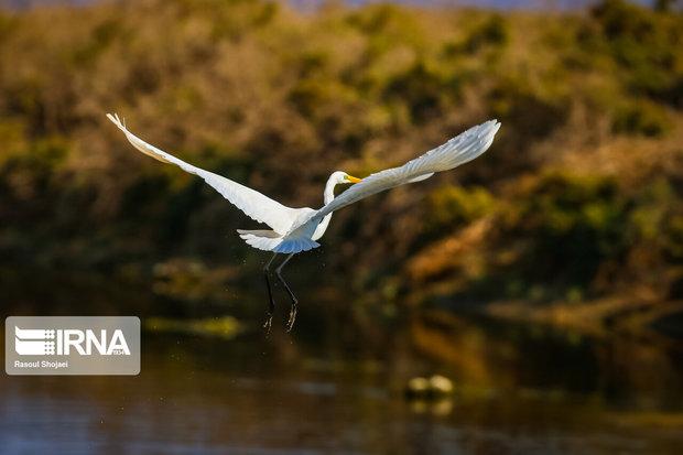 آبتنی پرندگان مهاجر در تالابهای همدان