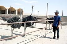 اشتغال 1000 خانوار روستایی در گرو احداث بزرگترین واحد پرورش شترمرغ در چابهار