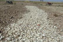 برداشت محصول پیاز از 250هکتار اراضی ابرکوه شروع شد