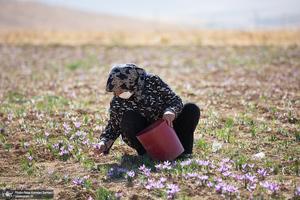 برداشت زعفران از مزارع استان چهارمحال و بختیاری