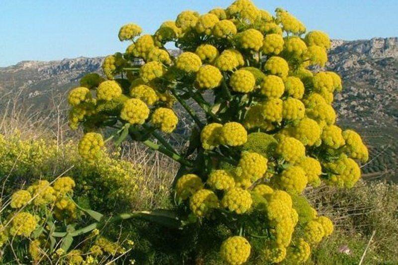 ۶۵ هکتار گیاه باریجه در اراضی طبیعی خنداب کشت شد