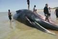پیدا شدن جسد  نهنگ ۱۸ متری در ساحل روستای لیلتین شهرستان گناوه