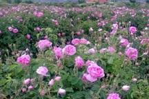 کشت گل محمدی در تایباد افزایش یافت