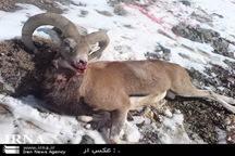 شکارچیان بزکوهی در دام پلیس کنگاور افتادند