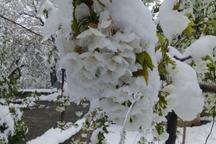 برف خسارت  سنگینی به کشاورزی البرز وارد کرد