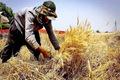 پیش بینی وزارت جهاد کشاورزی از تولید گندم در سال 99
