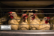 روند کاهشی قیمت مرغ در مازندران