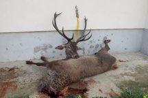 شکارچی غیرمجاز مرال در مینودشت دستگیر شد