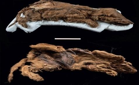 توله گرگ مومیایی شده با قدمت ۵۷ هزار ساله کشف شد+ عکس