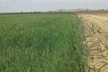 کشاورز ابرکوهی در طرح آبیاری نوین کشاورزی، نمونه استانی شد
