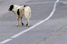 ضرورت کنترل سگ های ولگرد در آستارا