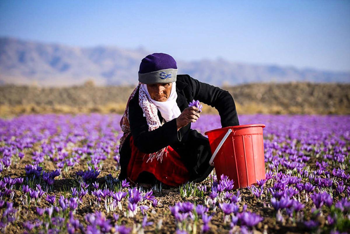 زعفران ایران راهی کدام کشورها می شود؟