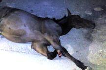 ورود ۲ راس اسب به آزادراه زنجان - قزوین، حادثه ساز شد