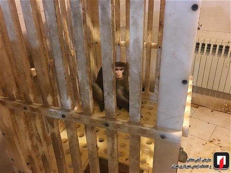 میمون متواری در دانشگاه علوم و تحقیقات به دام افتاد! + تصاویر