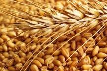 خرید گندم در استان مرکزی 20 درصد افزایش یافت