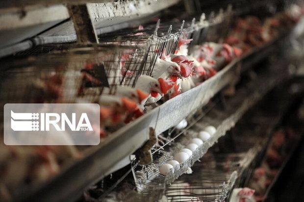 دامپزشکی مازندران خواستار رصد مرغداریها برای آنفلوانزا شد