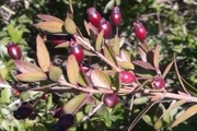۲ ۵ هکتار از درختچههای «مورد» حاشیه سد سراب گیلانغرب به بار نشست