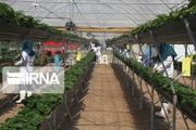 شیوع ویروس کرونا ۵۰۰ میلیارد ریال به گلکاران خمین خسارت وارد کرد