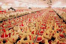 قیمت مرغ در خراسان رضوی طی سه سال گذشته کمترین نوسان را داشت