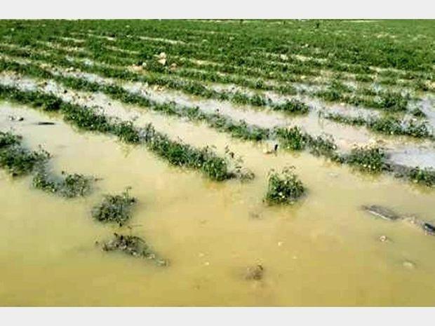 تسویه غرامت خسارت کشاورزان قزوینی به زودی انجام میشود